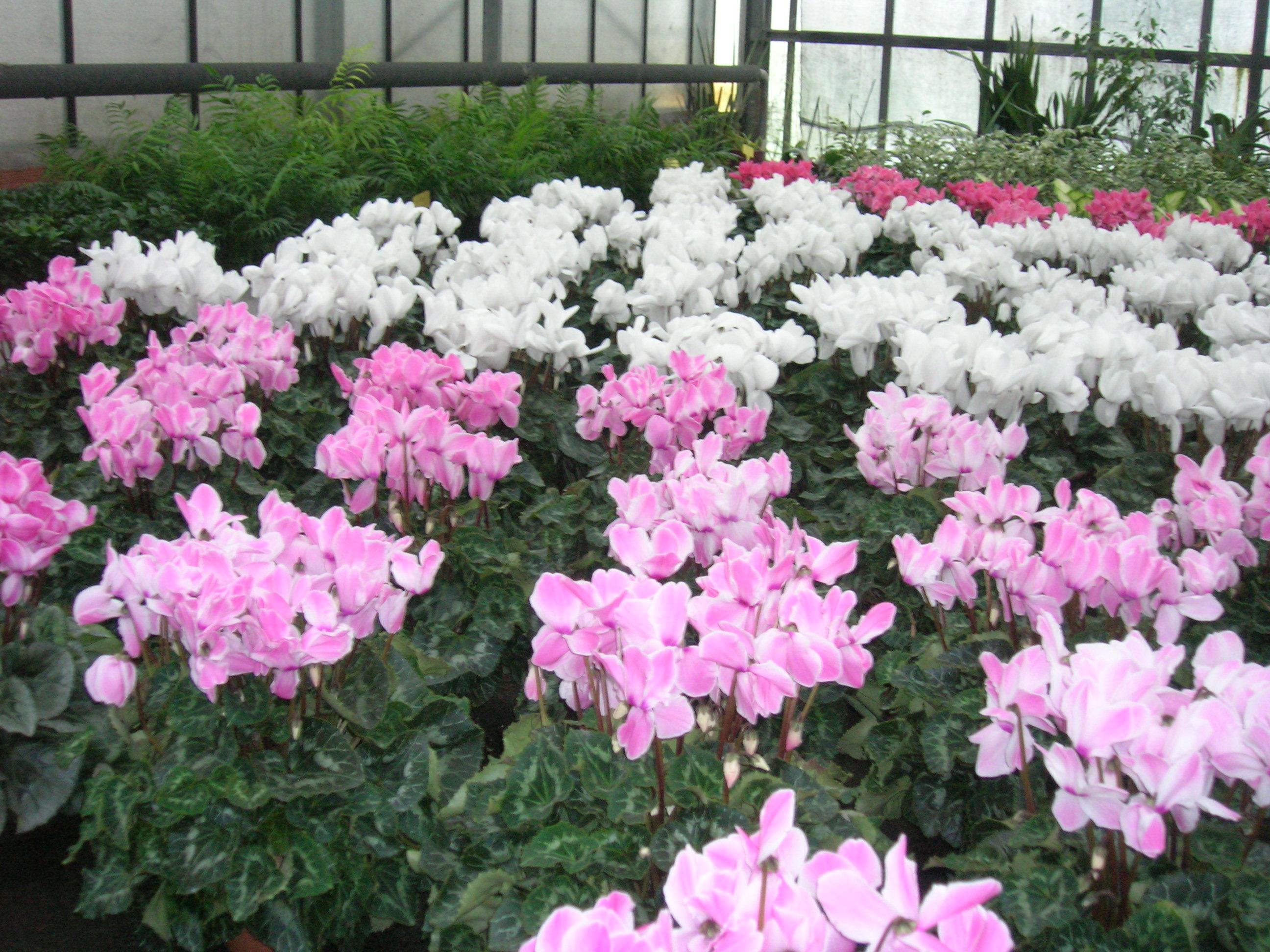 Piante da esterno - Azalea pianta da interno o esterno ...
