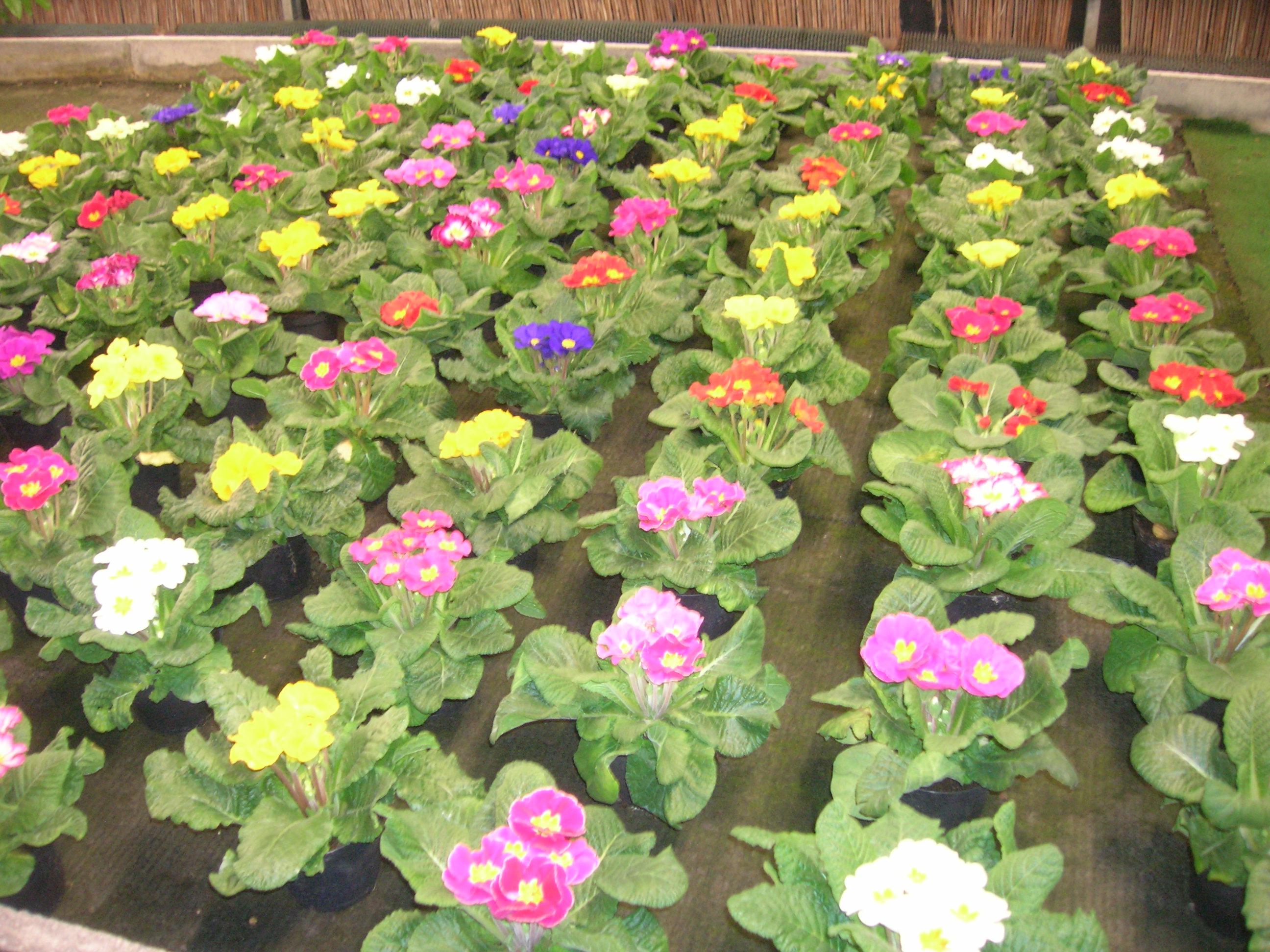 Rose gerani begonie petunie surfinie viole ciclamini - Azalea pianta da interno o esterno ...