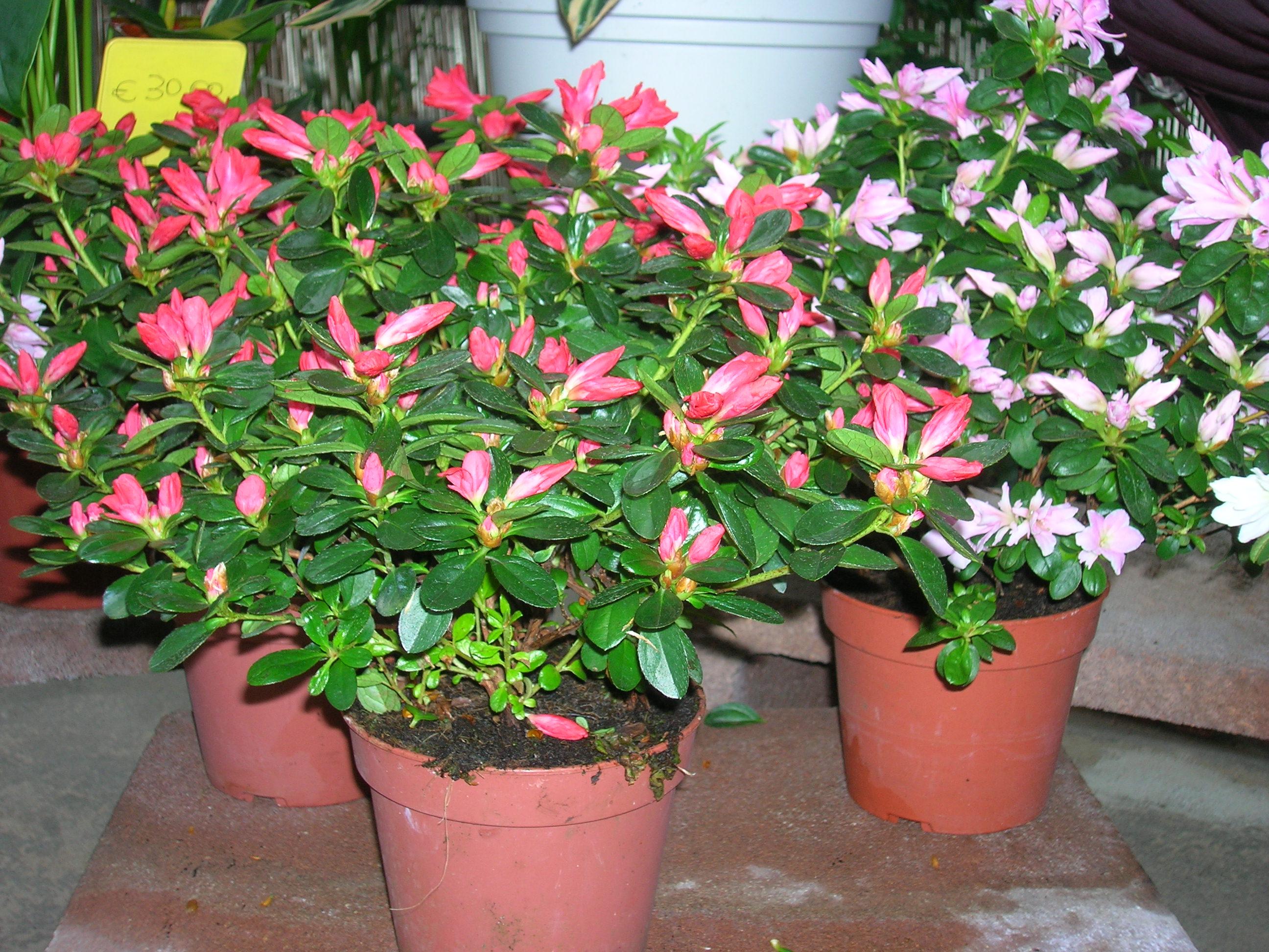Garden mazzocchi paolo viale rimembranze 26841 - Azalea pianta da interno o esterno ...