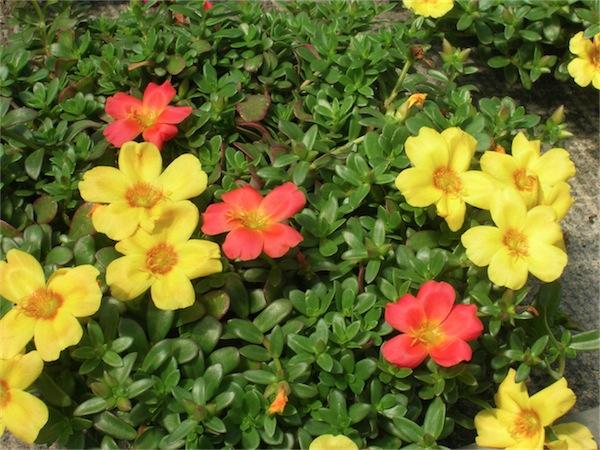 Piante da esterno for Piantine fiorite perenni